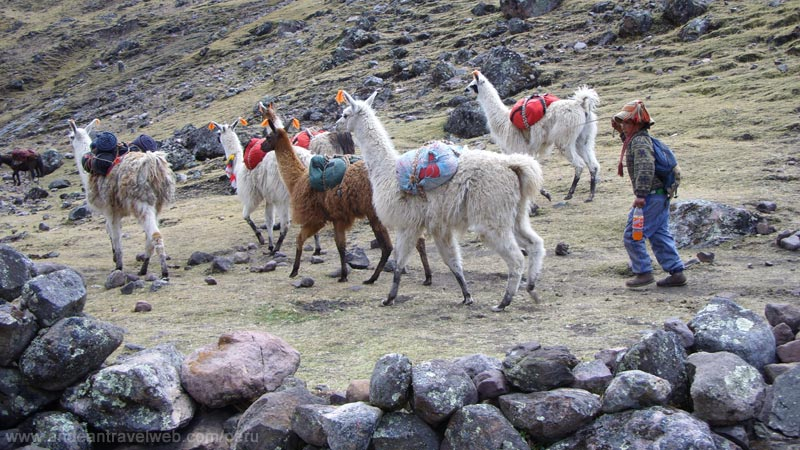Llamas on the Lares Trek